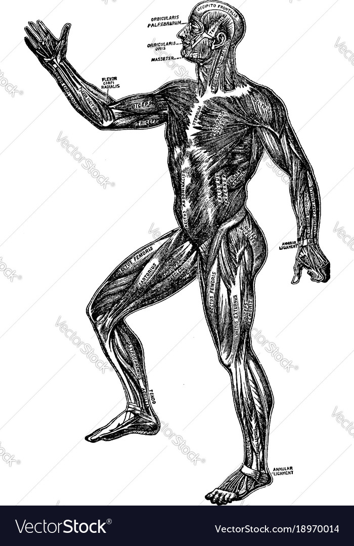 A diagram of the human muscular system vintage Vector Image