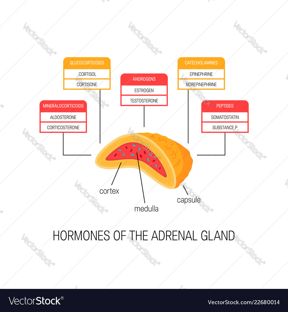 hormones of the adrenal gland diagram royalty free vectorhormones of the adrenal gland diagram vector image