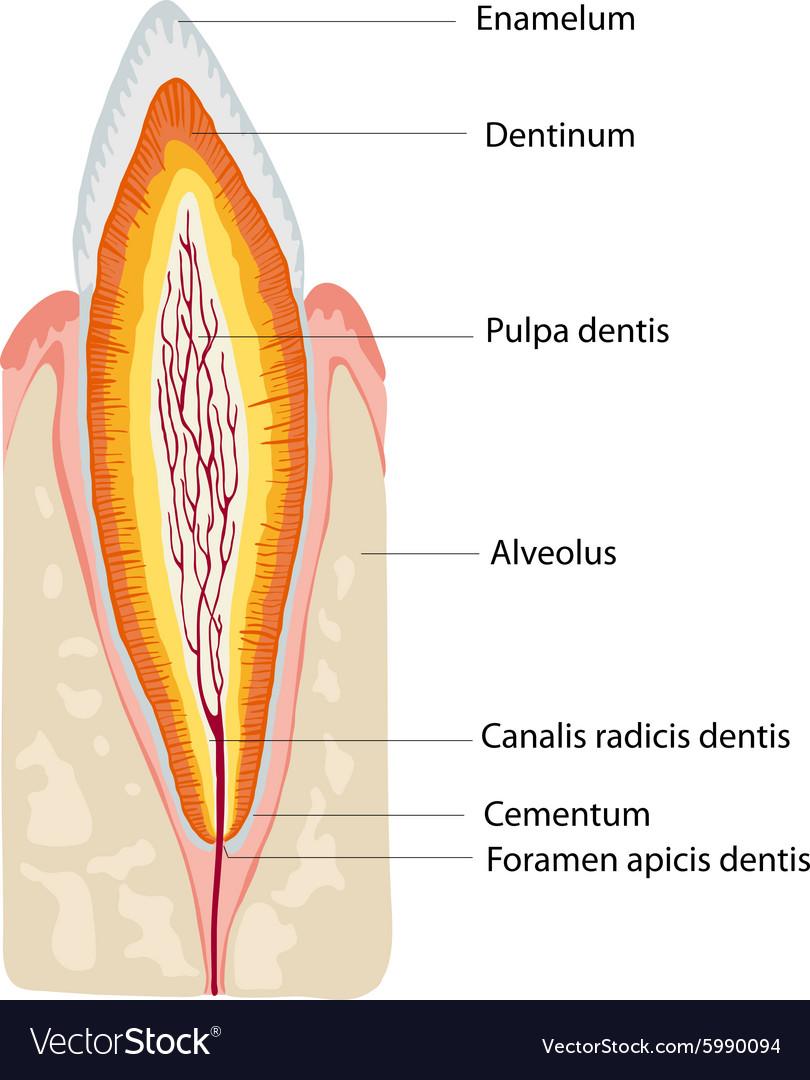 Anatomy tooth Royalty Free Vector Image - VectorStock