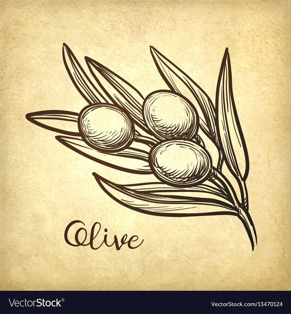 Hand drawn of olive branch vector image