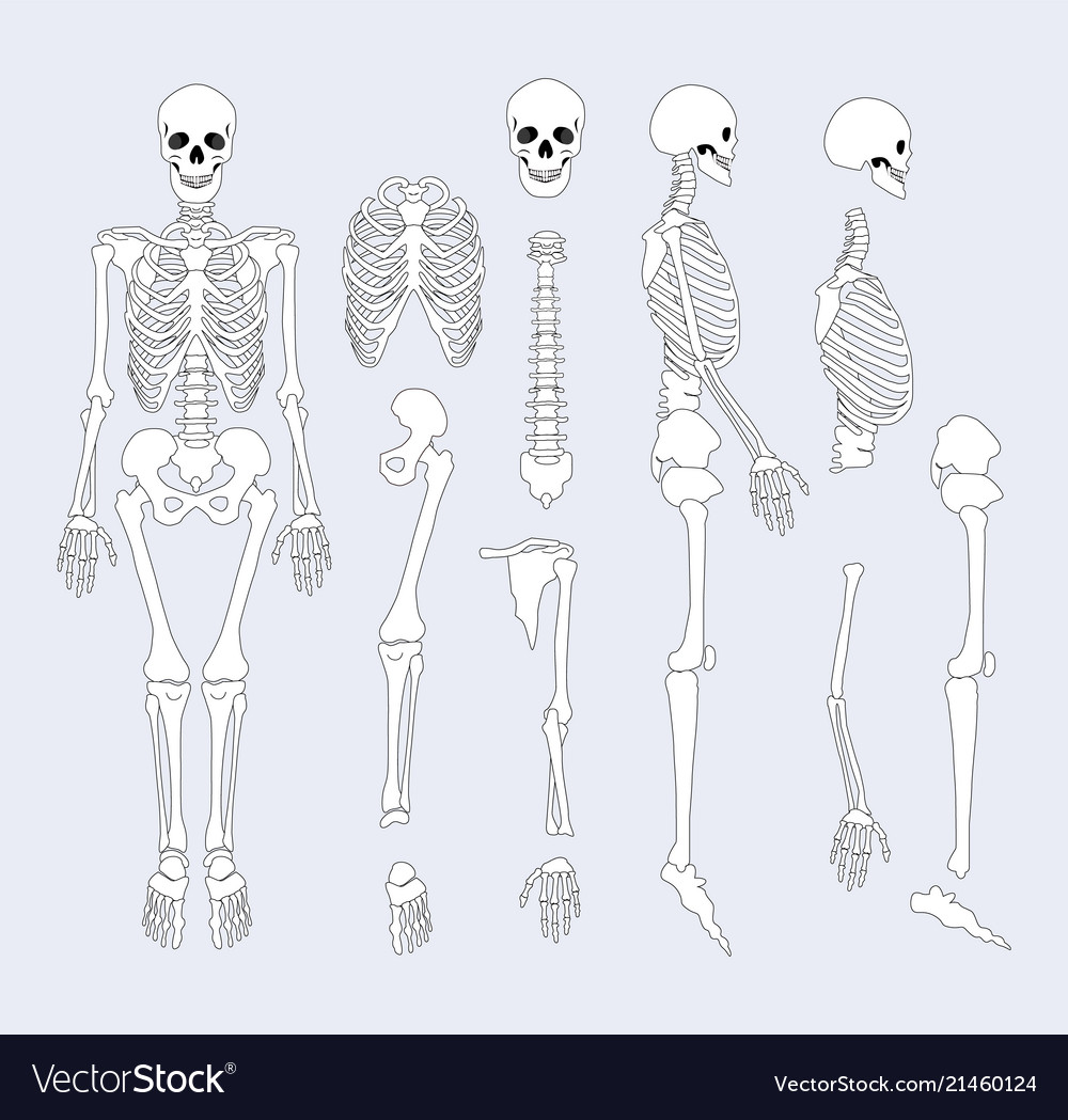 Human Skeletal System Parts Royalty Free Vector Image