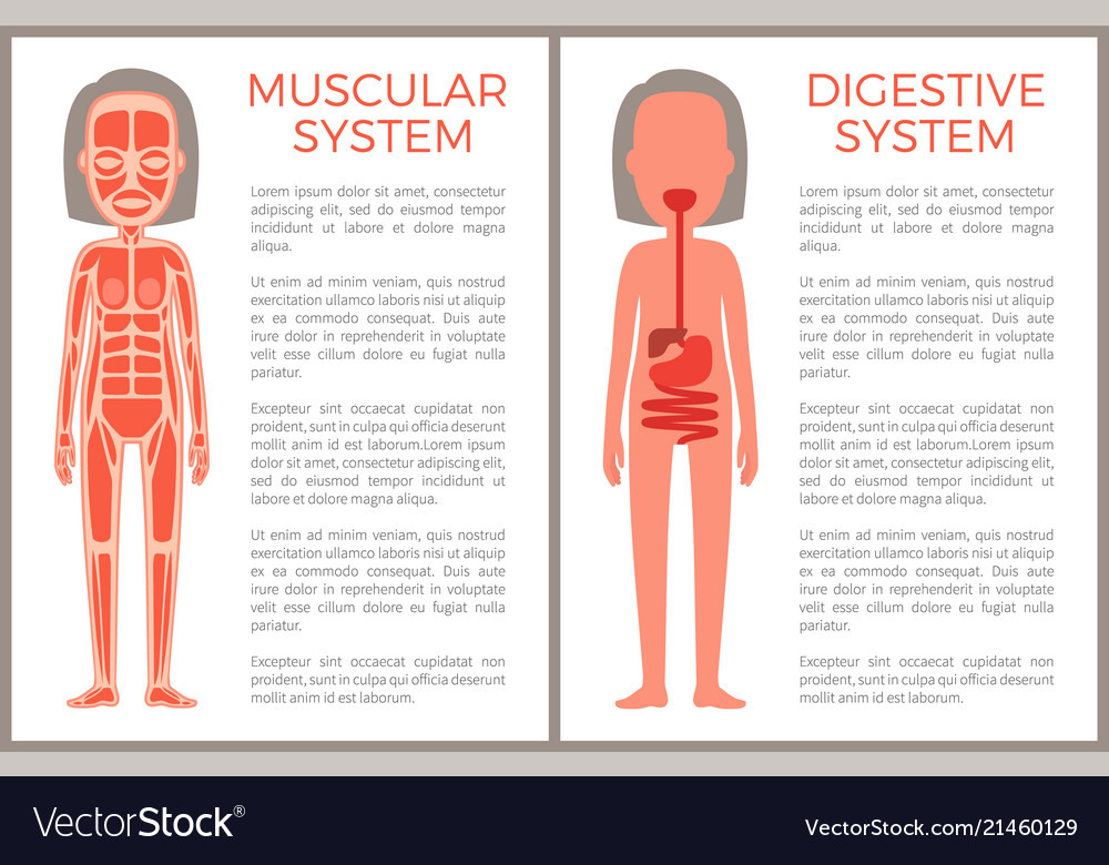 Muscular And Digestive Systems Of Woman S Body Vector Image