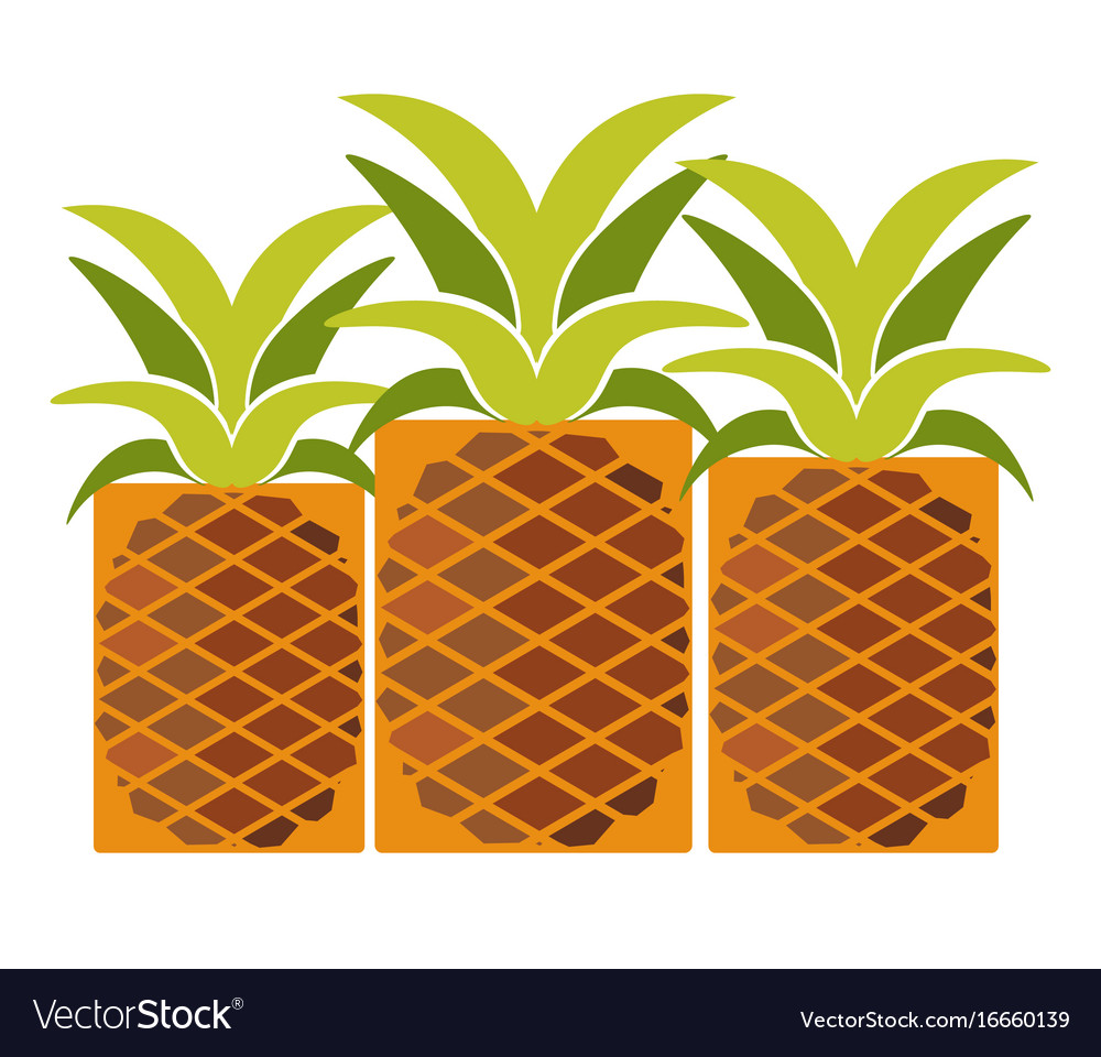Tropical ripe pineapples with long leaves isolated