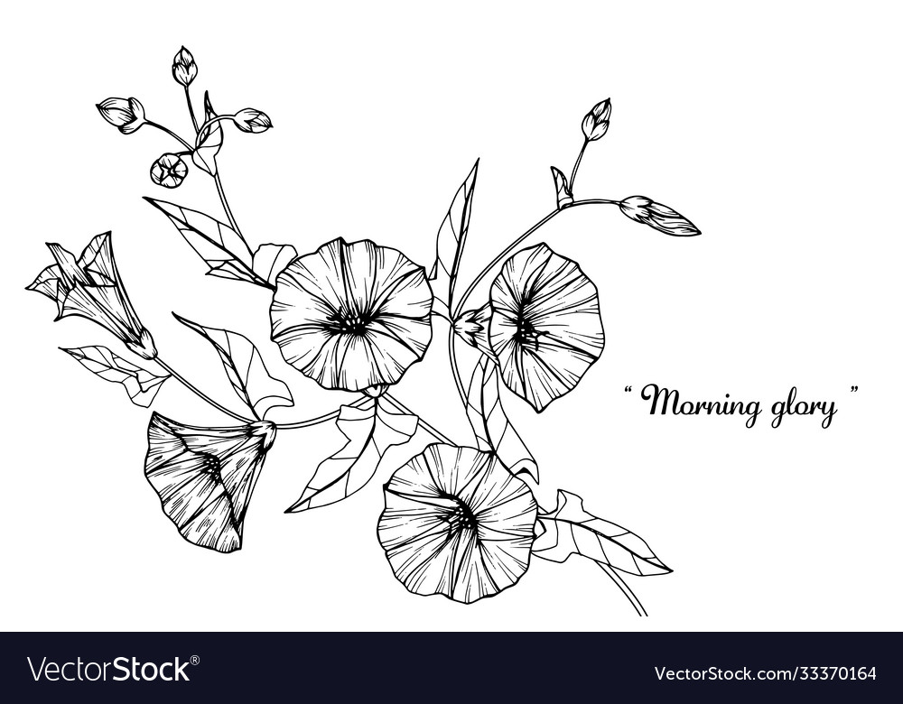 Morning glory flower and leaf hand drawn