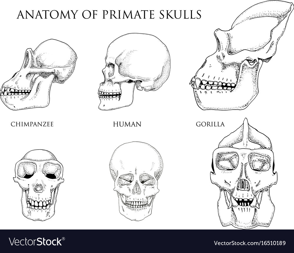 Human and chimpanzee gorilla biology and anatomy vector image on VectorStock