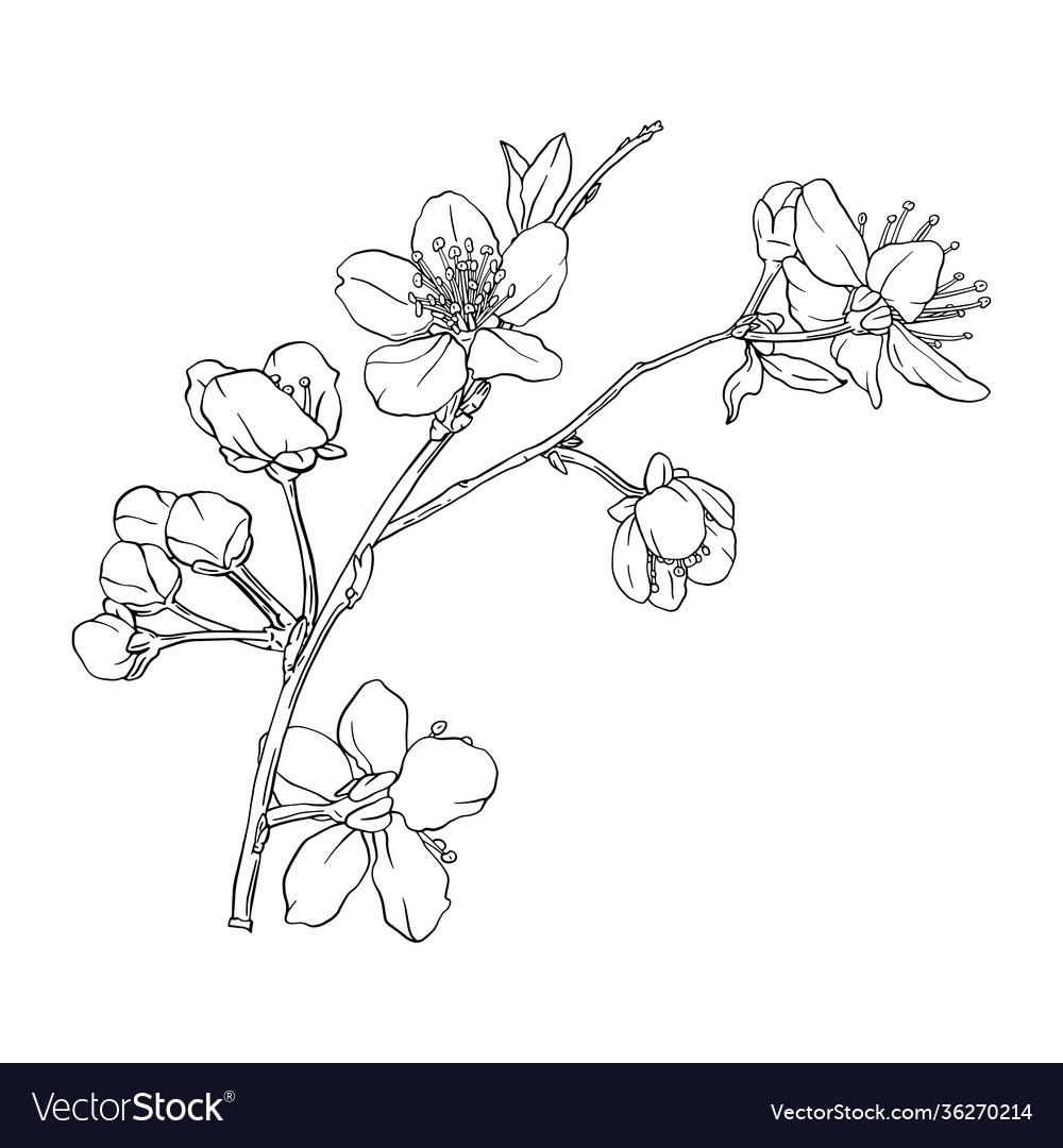 Hand drawn branch sakura with blooms flowers