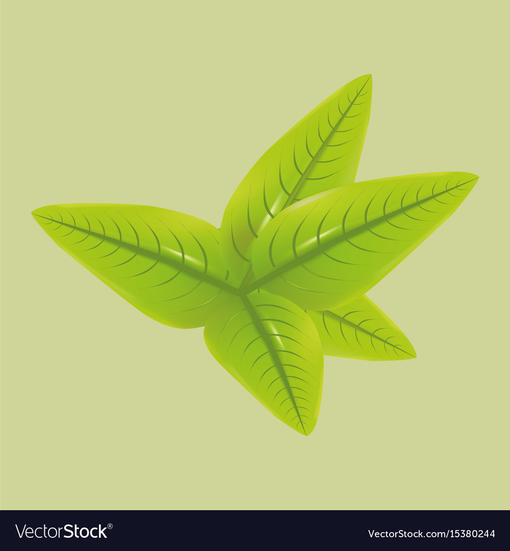 Green tea leaves vector image
