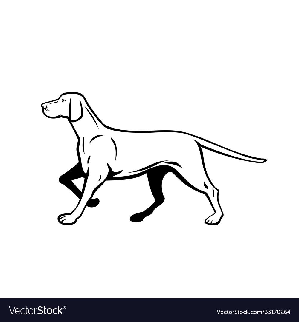 Hungarian or magyar vizsla pointer dog walking