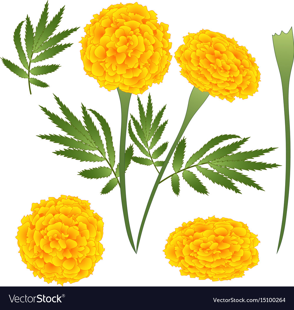 Marigold flower tagetes royalty free vector image marigold flower tagetes vector image mightylinksfo