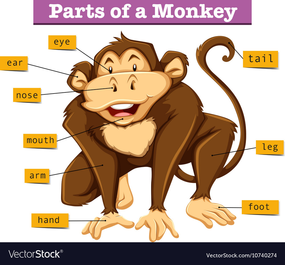 Diagram showing parts of monkey Royalty Free Vector Image