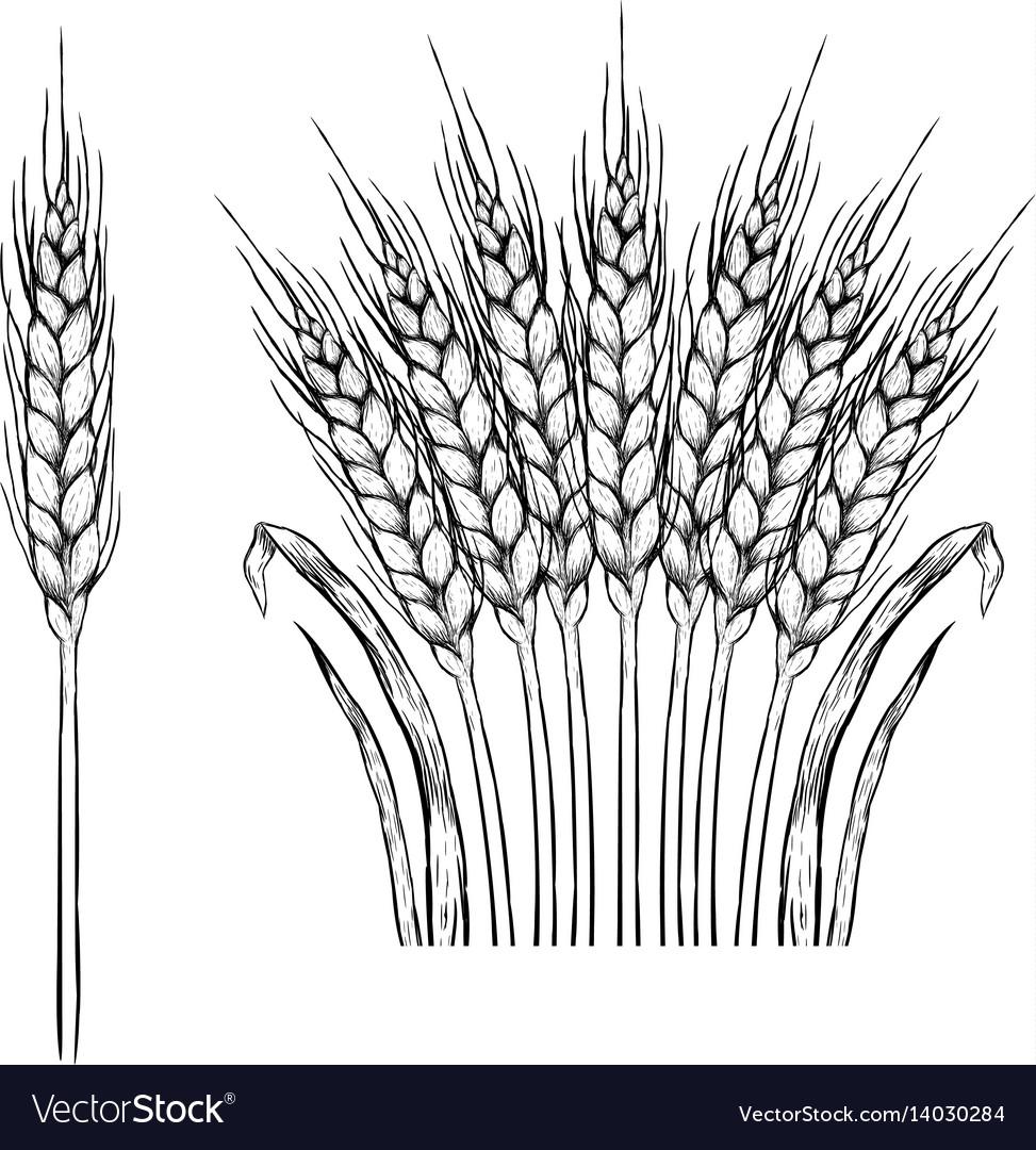 нежно прижимается картинка колос пшеницы раскраска знающие, как выглядит