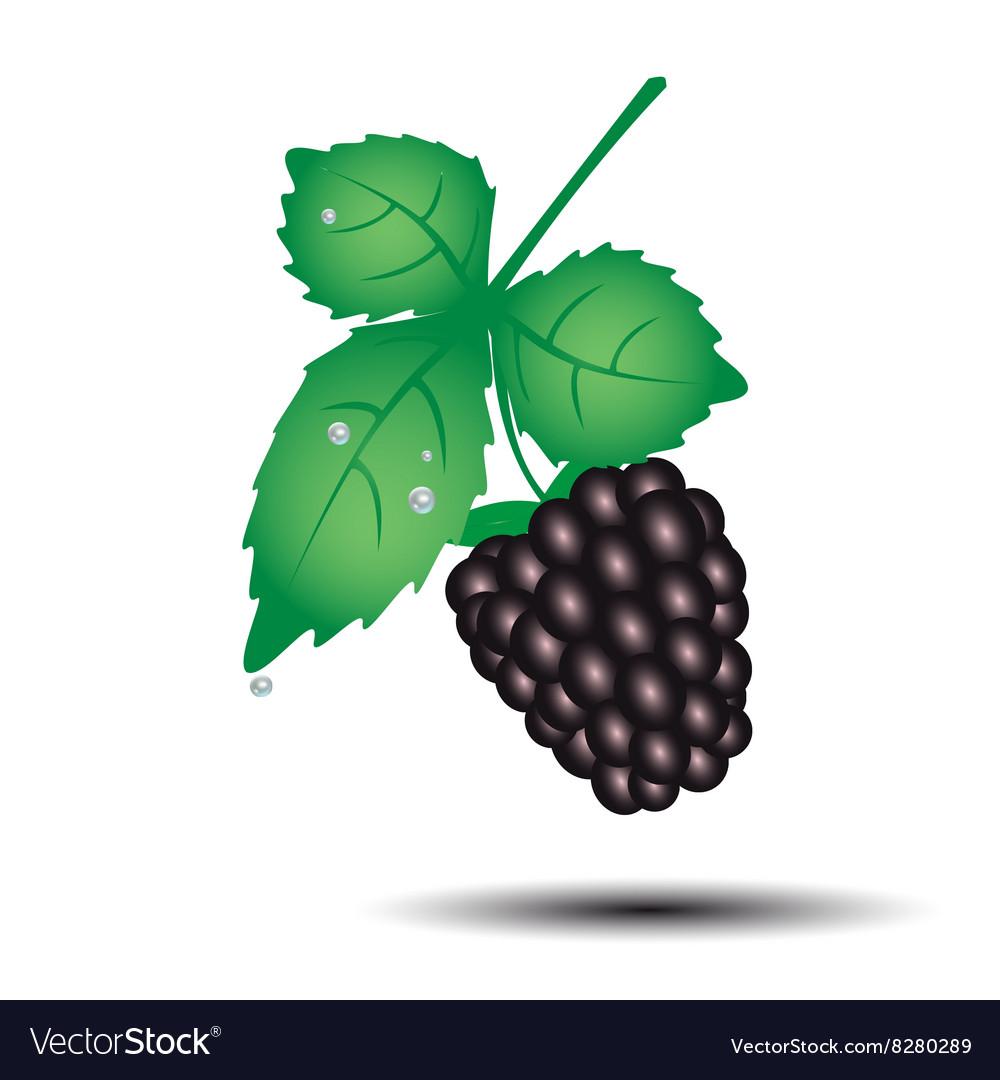 Colorful blackberry summer fruit with leaf eps10 vector image