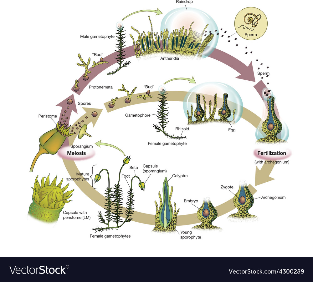 Life Cycle Of A Labeled Moss Diagram: Moss Lifecycle Royalty Free Vector Image