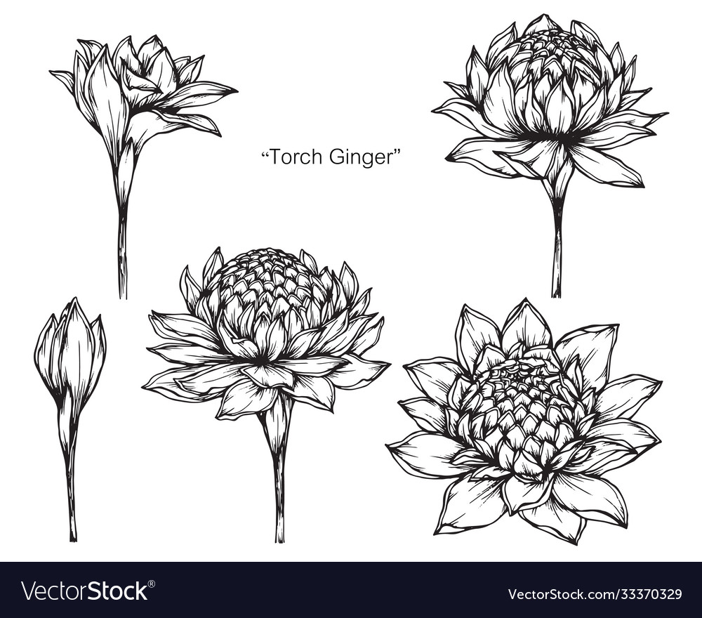 Hand drawn torch ginger flower with line art