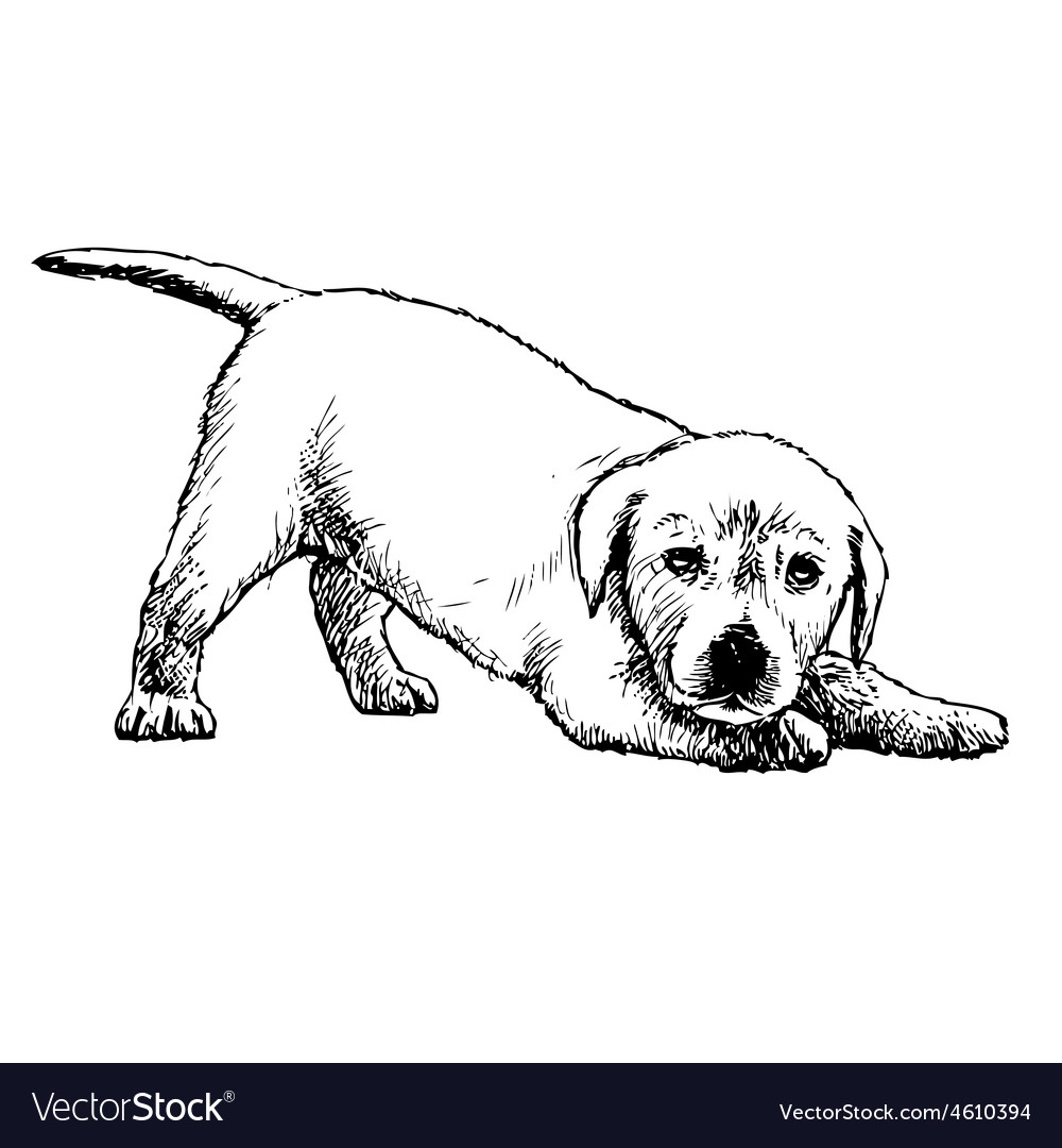 Labrador Retriever Puppy 03 1 Royalty Free Vector Image