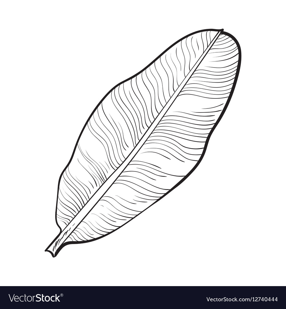 Full fresh leaf of banana palm tree sketch