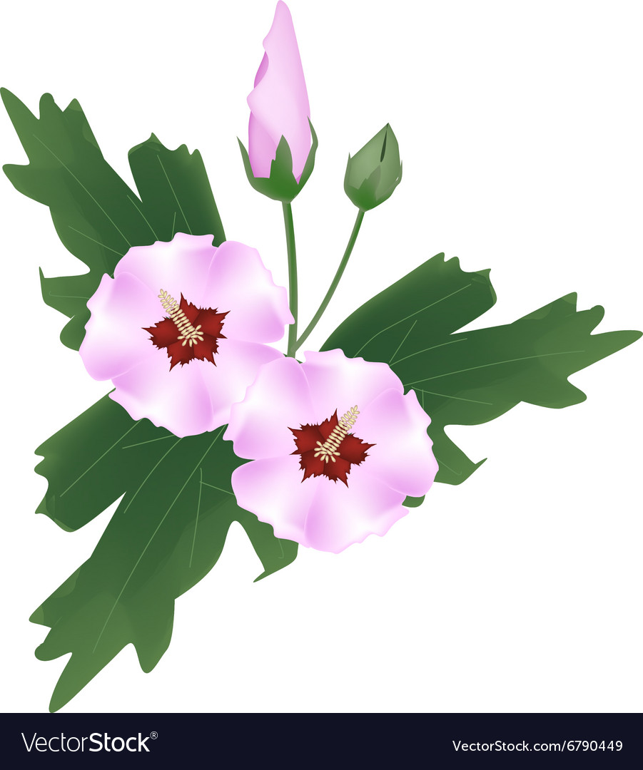 Pink Hibiscus Flower Bud On White Background Vector Image