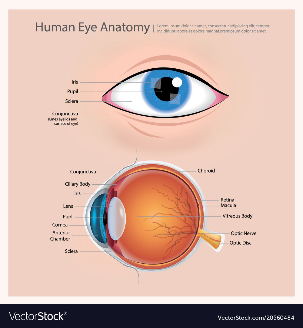 Human eye anatomy Royalty Free Vector Image - VectorStock
