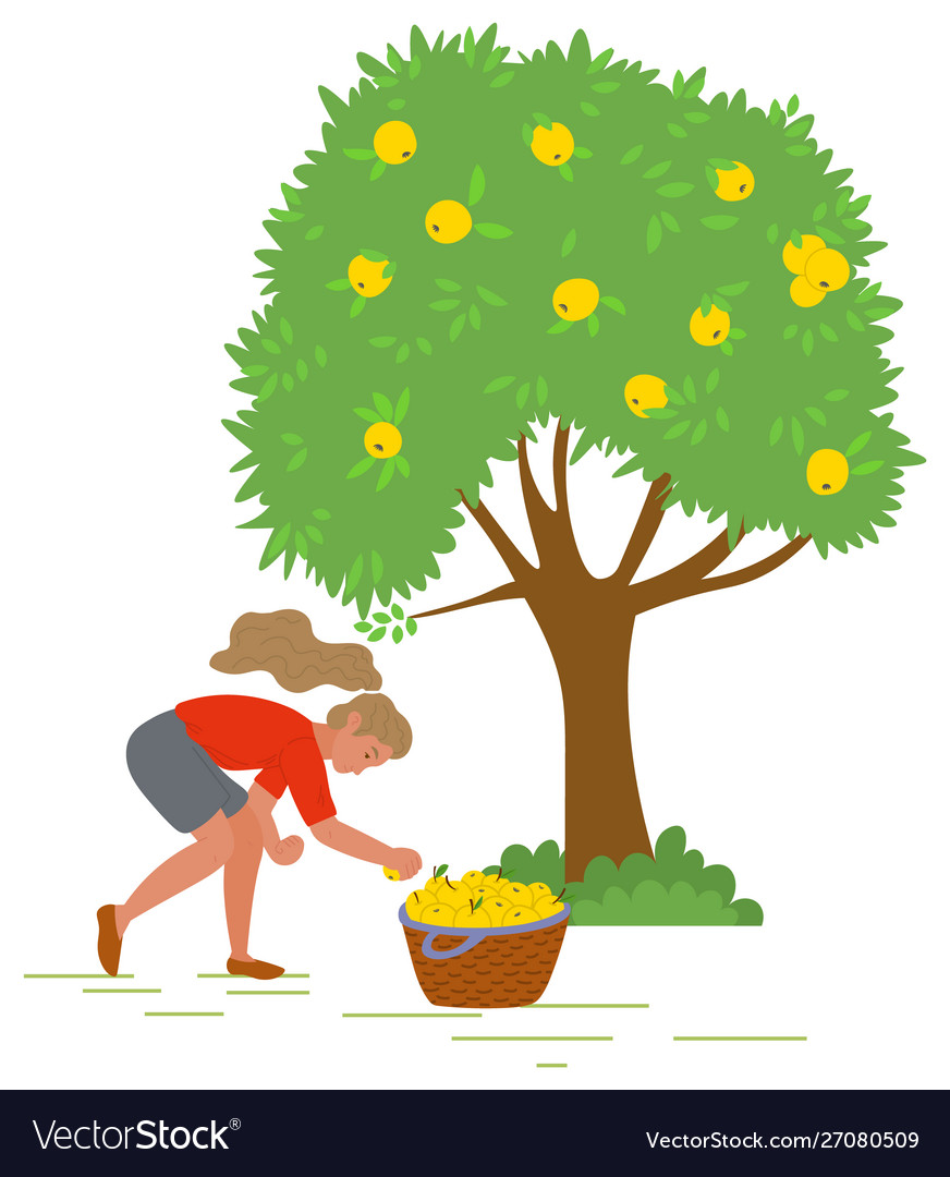 Young girl picking yellow apples image