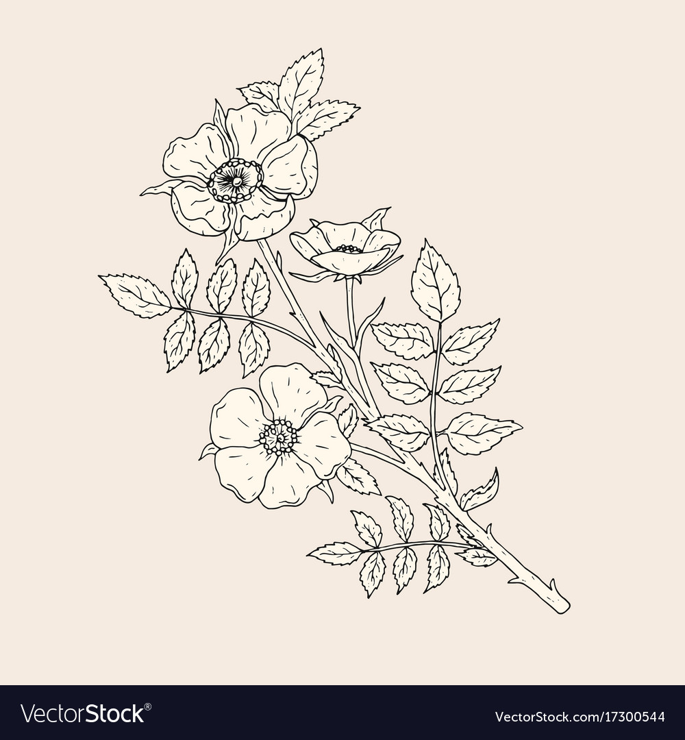 Elegant Drawing Dog Rose Flowers With Stem And Vector Image