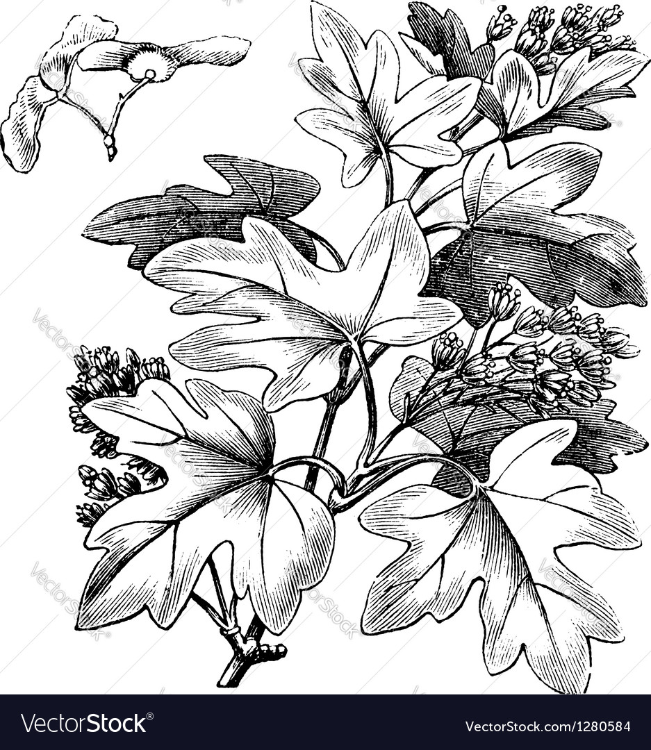 Field Maple vintage engraving vector image