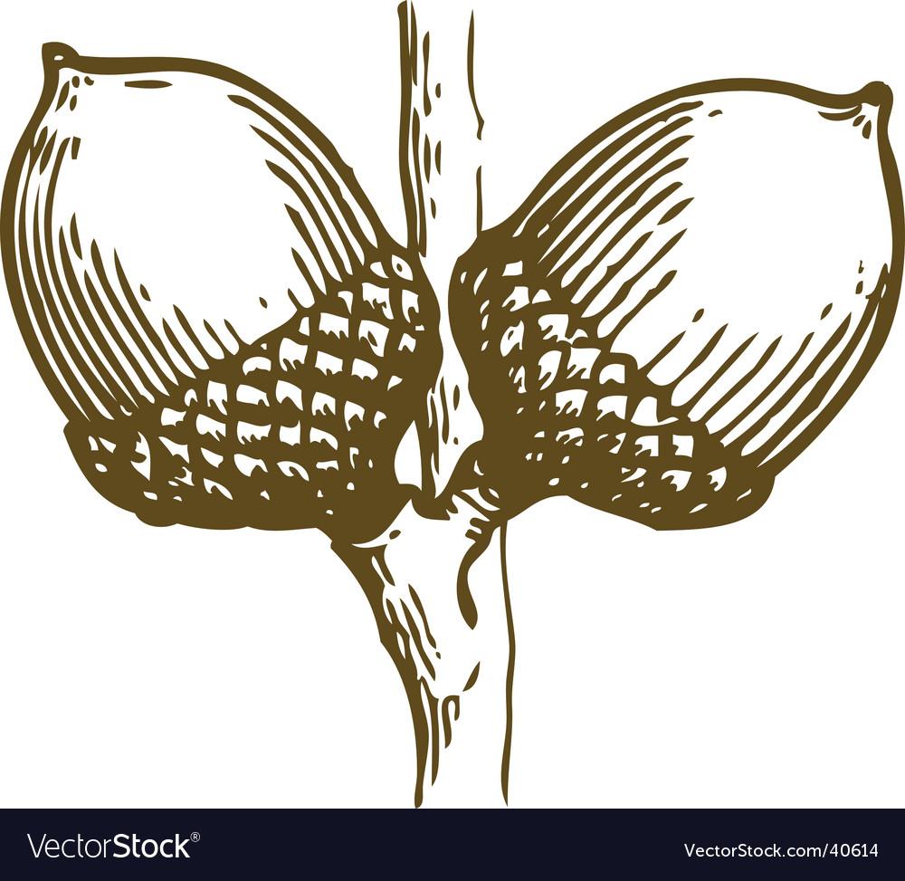Acorns sketch vector image
