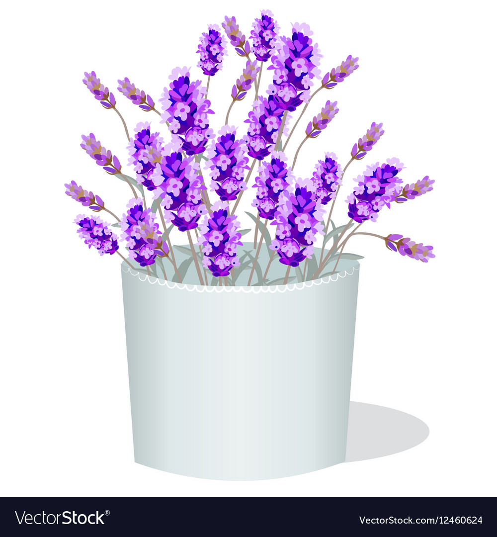Lavender flowers in a white pot
