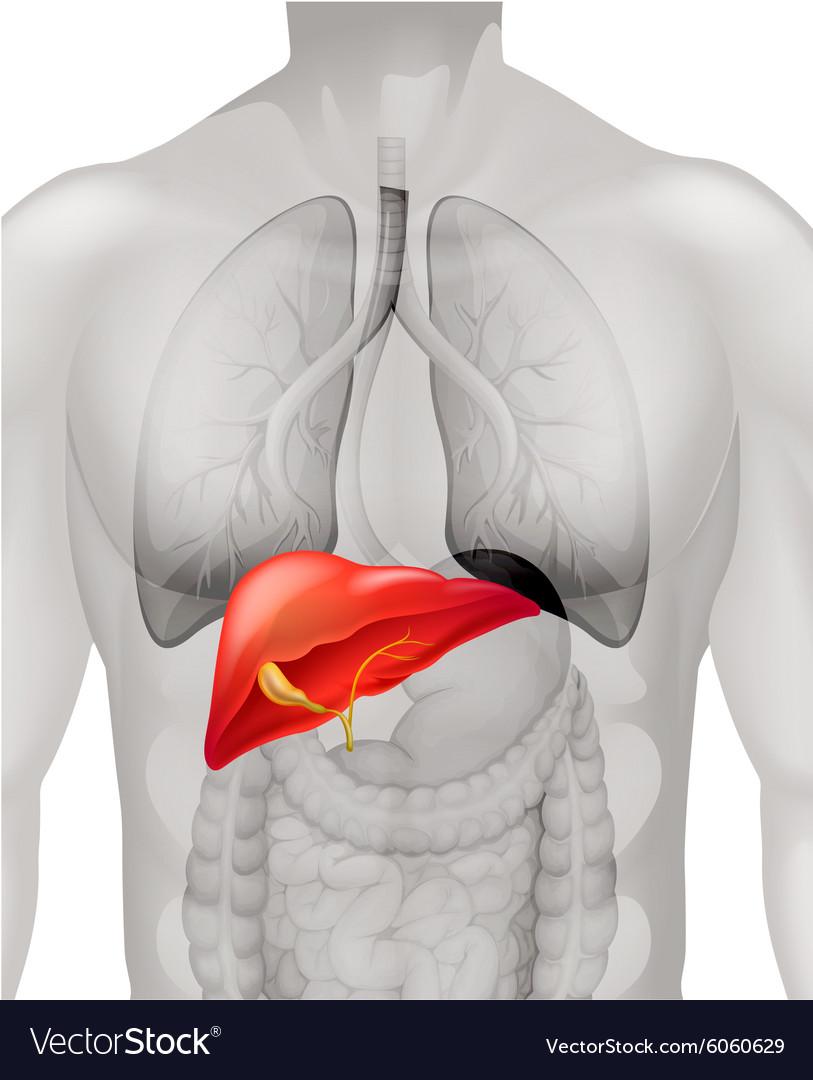 Human Liver In Body Royalty Free Vector Image Vectorstock