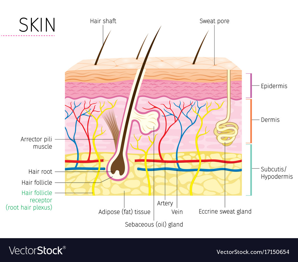 Human anatomy skin and hair diagram Royalty Free Vector