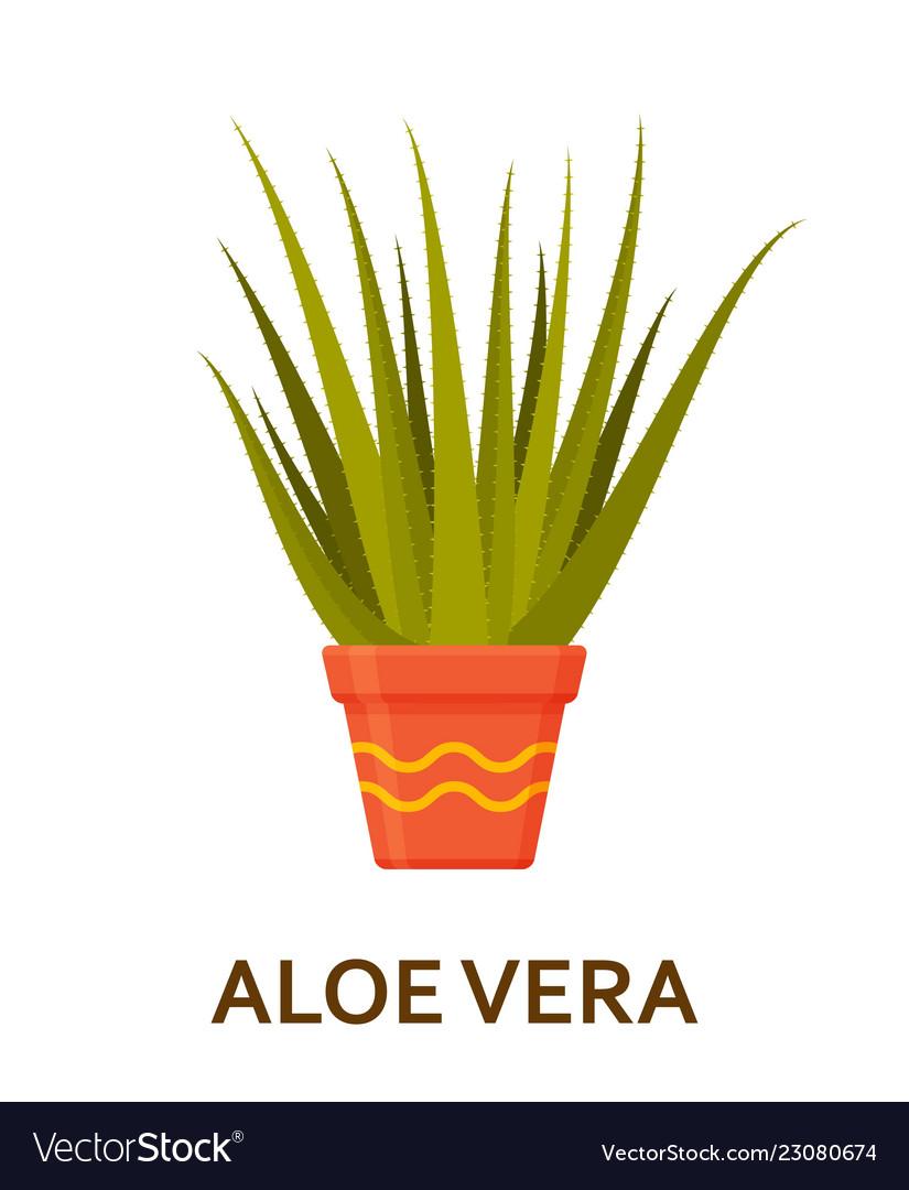 Aloe vera decorative houseplant in pot florist