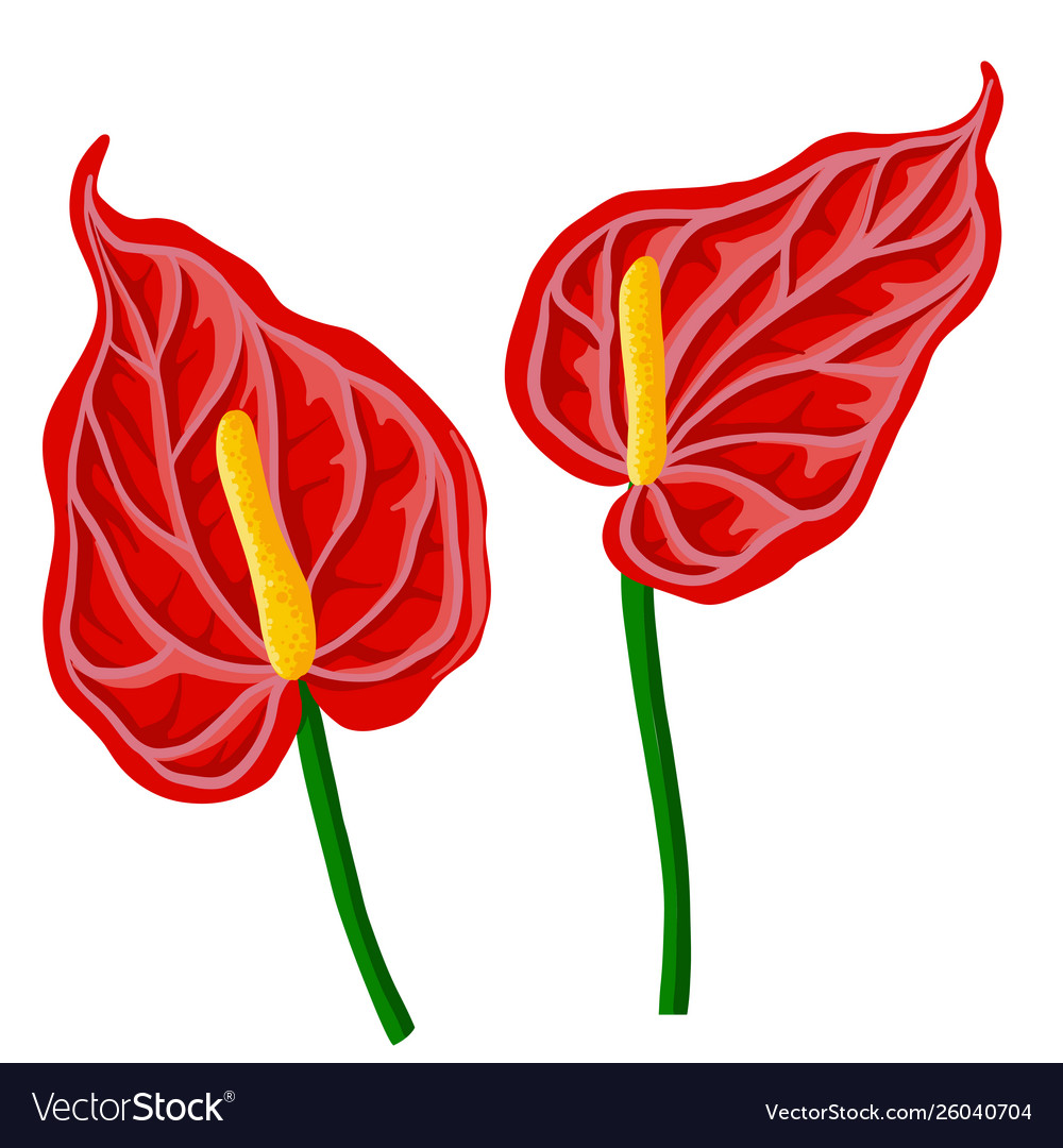 Drawing anthurium flowers