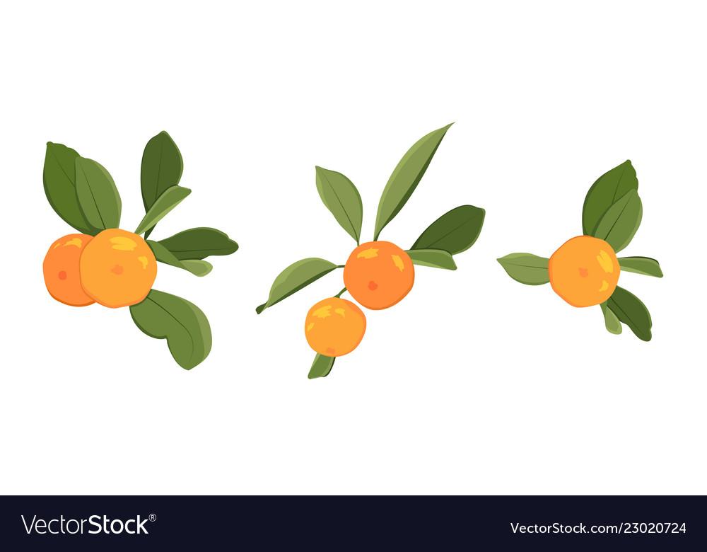 Clementine tangerine mandarin ripe orange citrus