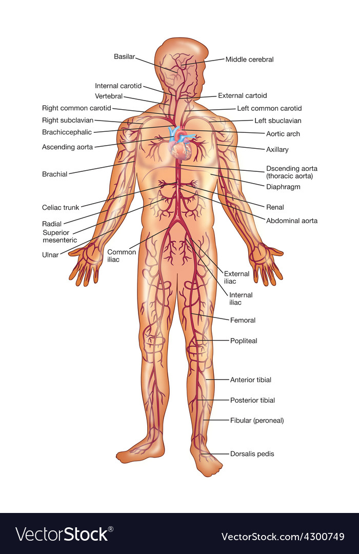 Arteries Of The Human Body Royalty Free Vector Image