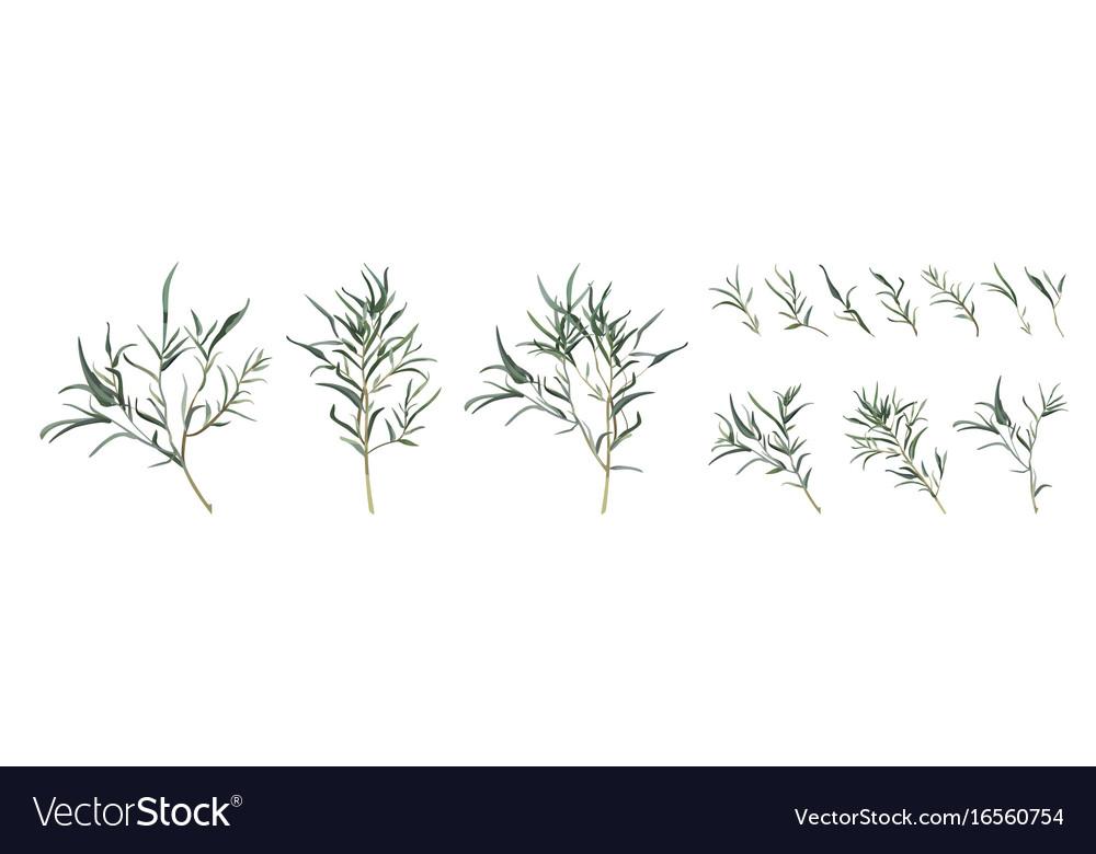 Eucalyptus Willow Tree Designer Art Different Vector Image