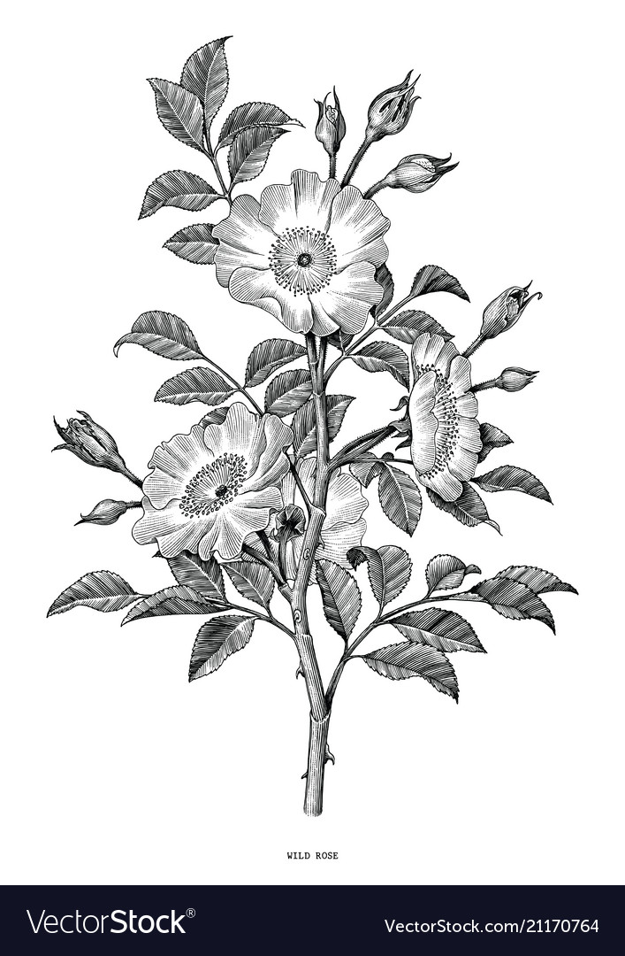 Wild rose hand drawing black and white vintage