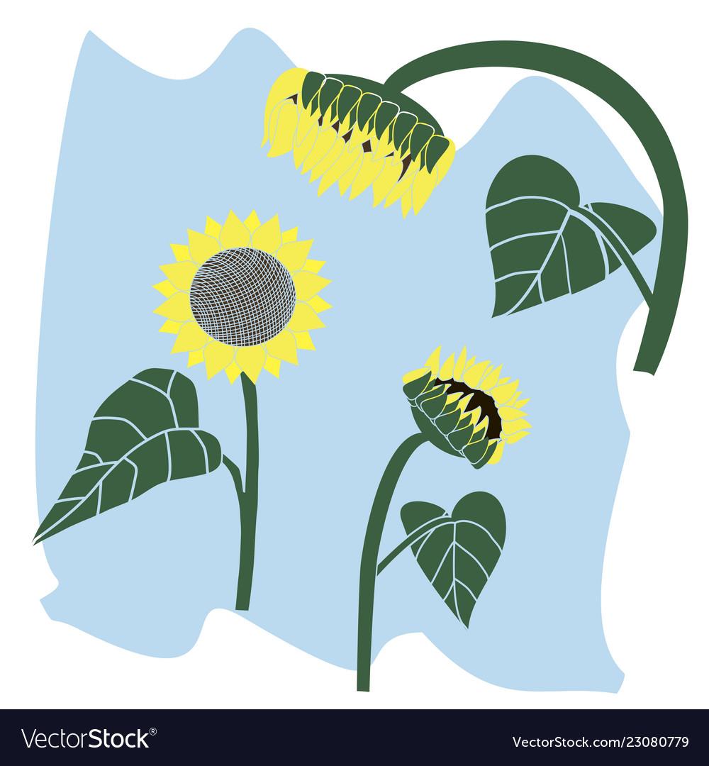 Flower blooming sunflower