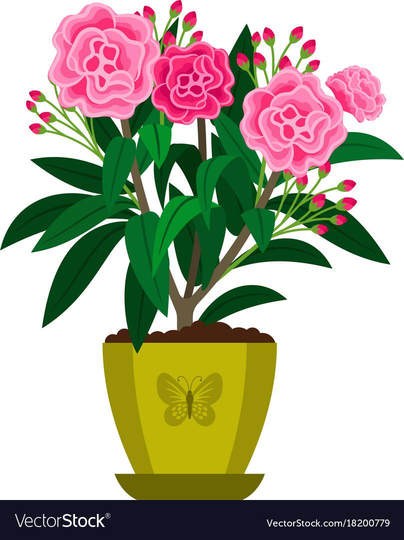 Oleander blooming houseplant