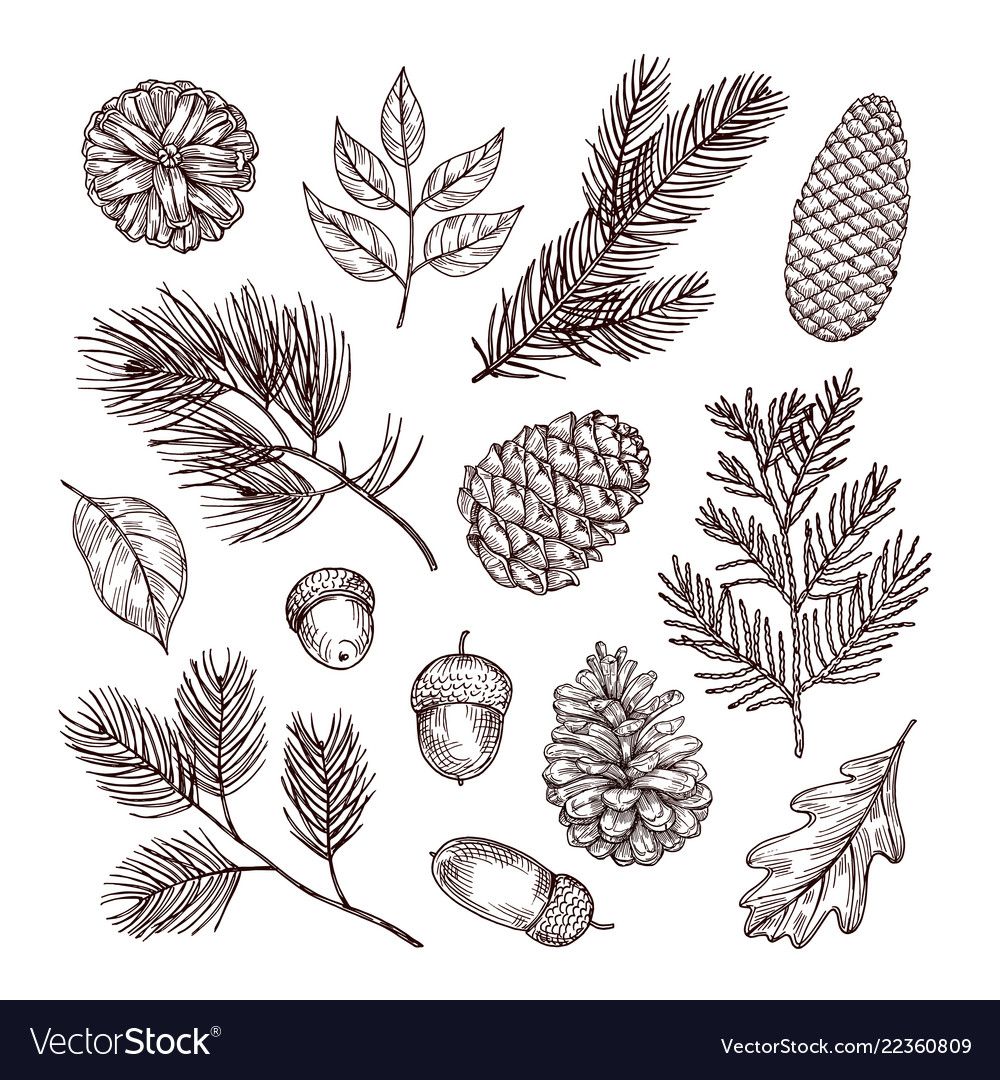 Sketch fir branches acorns and pine cones