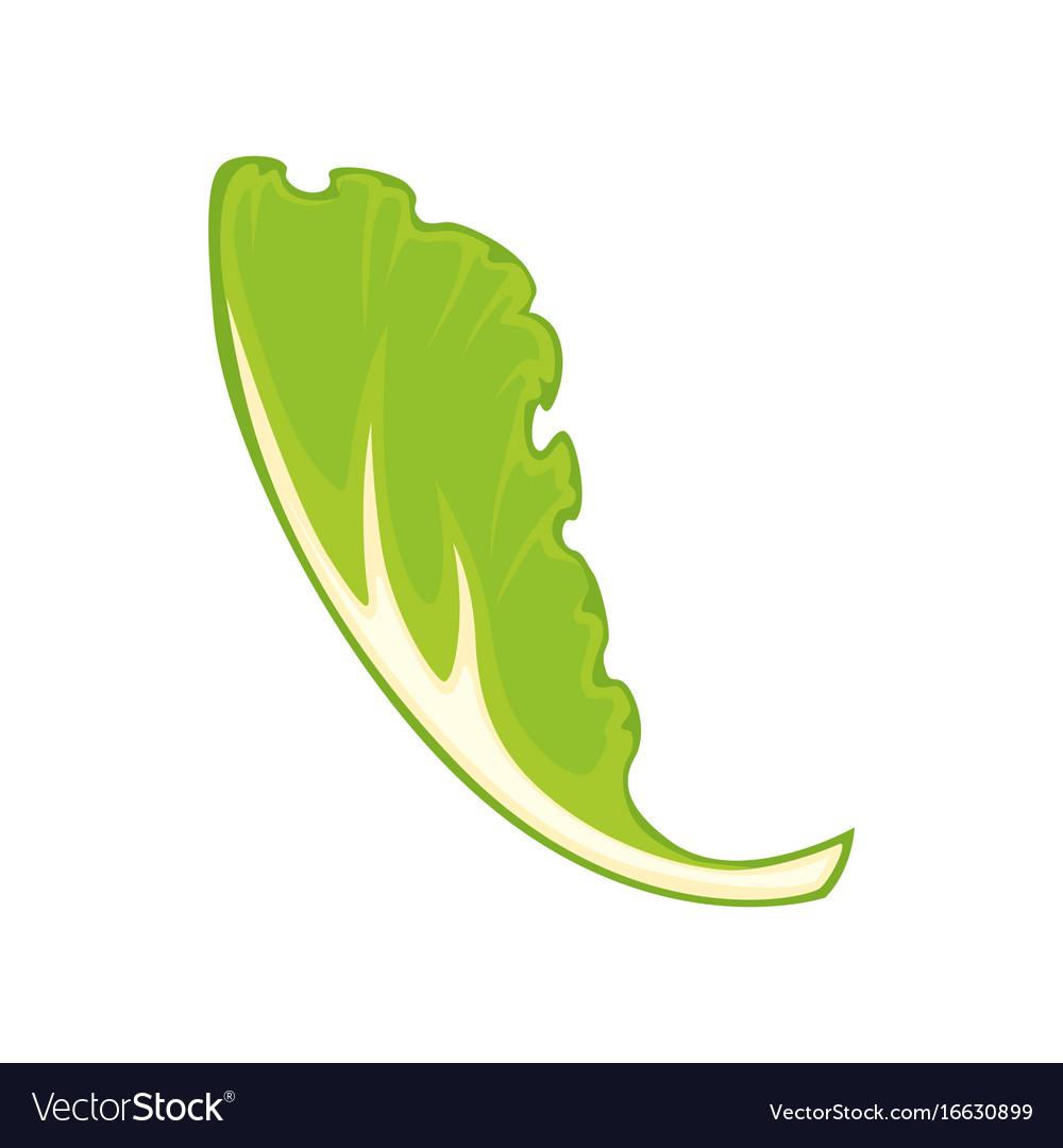 leaf green salad royalty free vector image - vectorstock  vectorstock