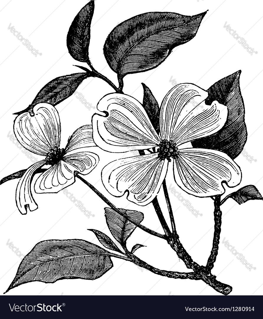 Flowering Dogwood vintage engraving
