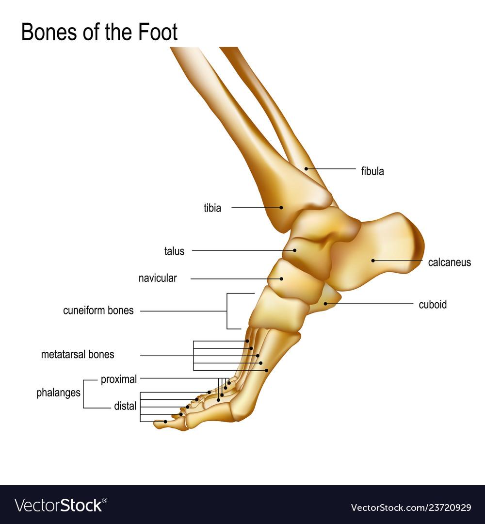 Bony Anatomy Of Foot
