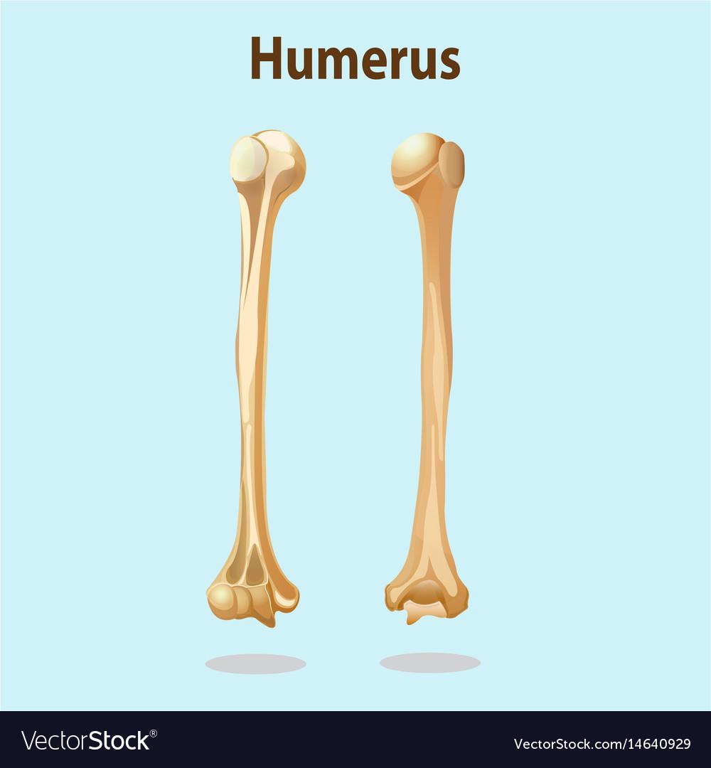 Humerus Bones Royalty Free Vector Image Vectorstock