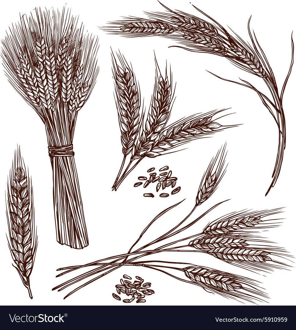 Wheat Sketch Set vector image
