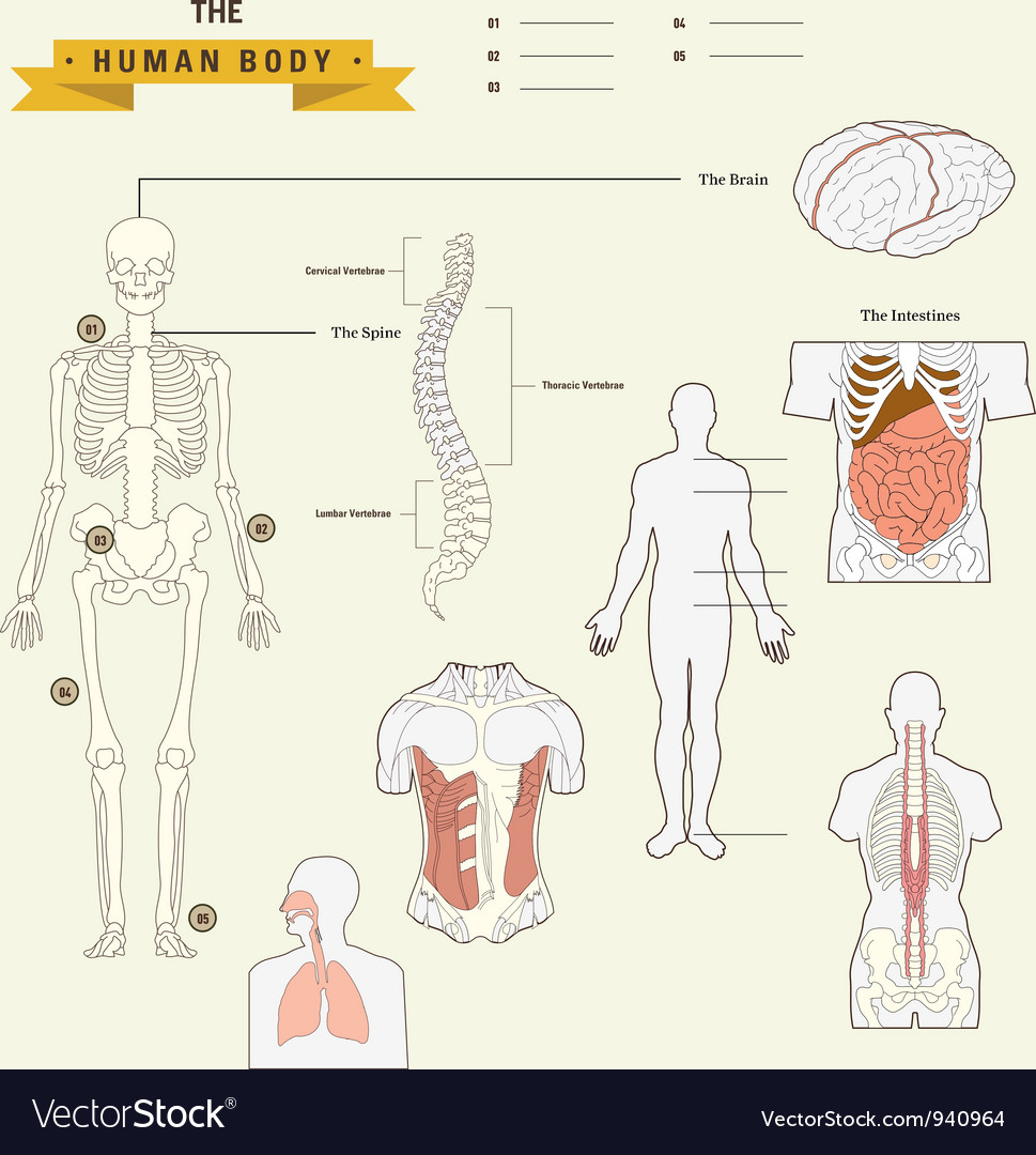 Human Body Anatomy Royalty Free Vector Image Vectorstock