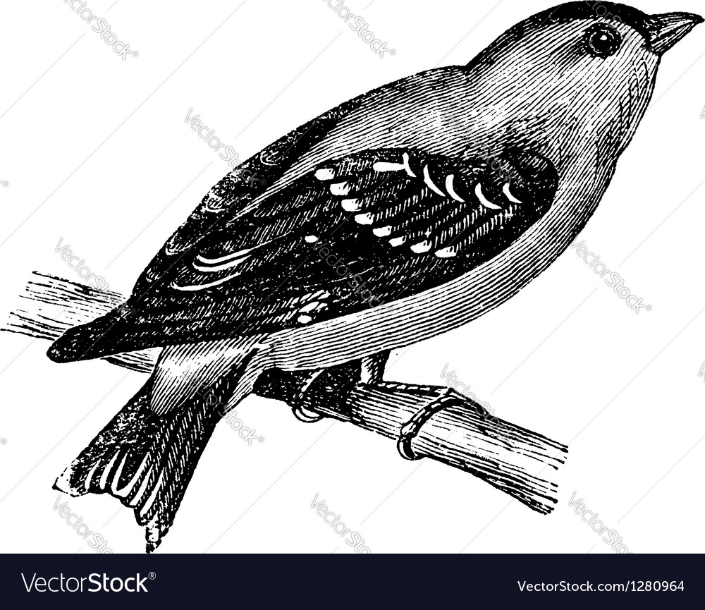 Wild Canary vintage engraving vector image