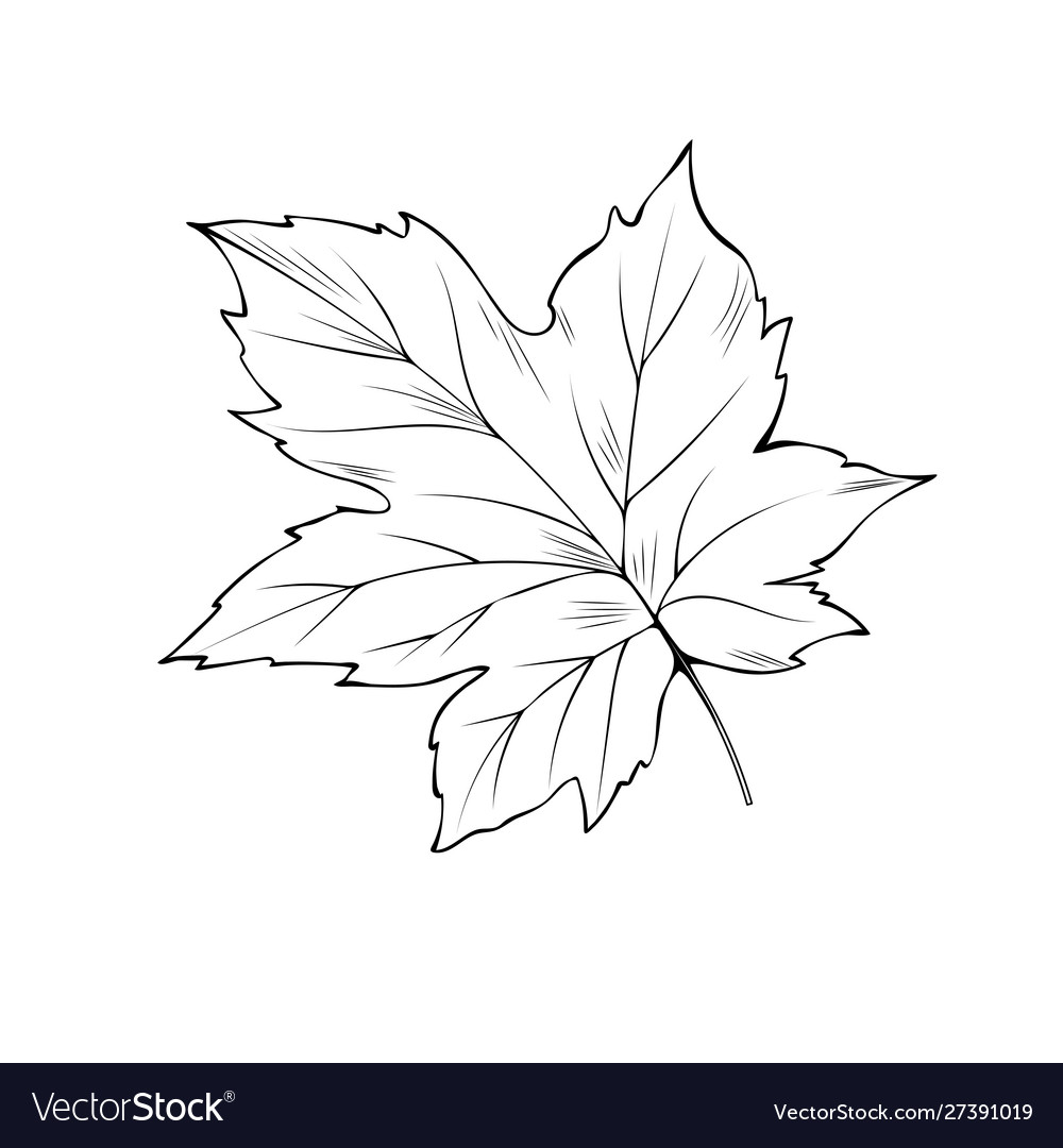 Maple tree leaf coloring book