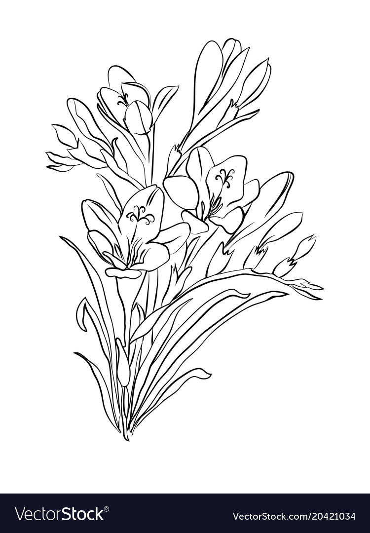 6fd36a6fa Freesia flower graphic black white isolated sketch vector image