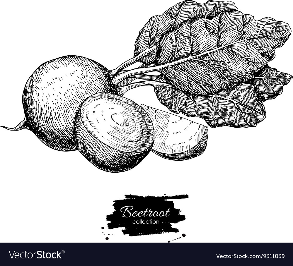 Beetroot hand drawn Vegetable engraved