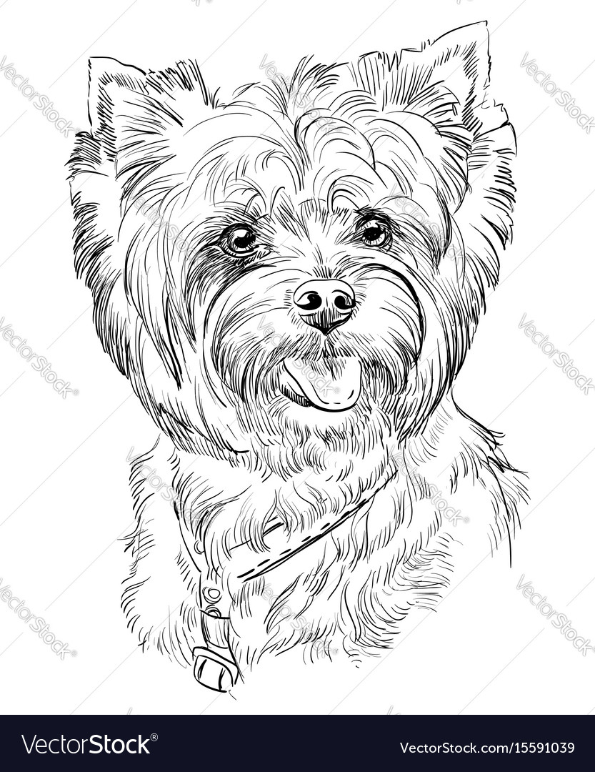 Hand Drawing Portrait Yorkshire Terrier Royalty Free Vector