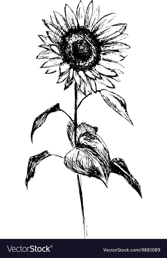 hand sketch sunflower royalty free vector image